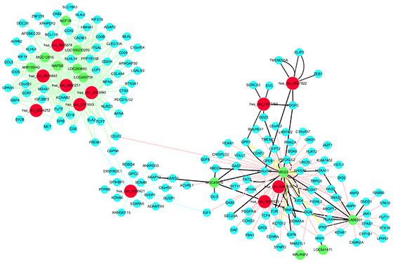 circRNA、lncRNA作为ceRNA调控网络图